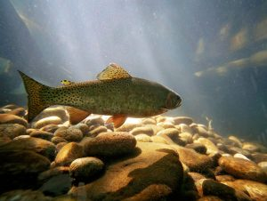 Cutthroat trout swimming in water above rocks